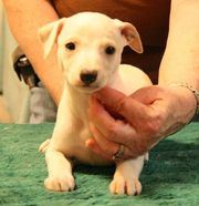 nice looking white whippet puppies now available for sale.