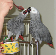 Arican grey parrots for good home.