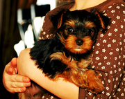perfect and beautiful teacup yorkie puppies to loving homes
