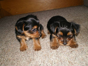 100% AKC pure bred yorkshire babies needs a family