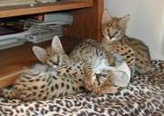 Bobcats, Serval, Caracals and Ocelots Now Available
